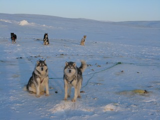 Huskies, each wearing their harnesses, are attached by their tow lines to a central point.