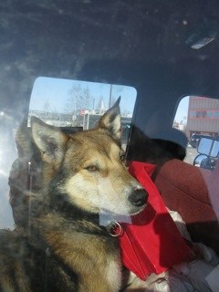A sled dog, after a long day of racing