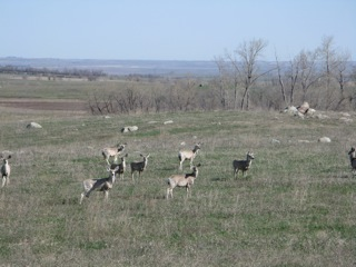 Small herd of mule deer (note the big ears) on the North Dakota prairie.